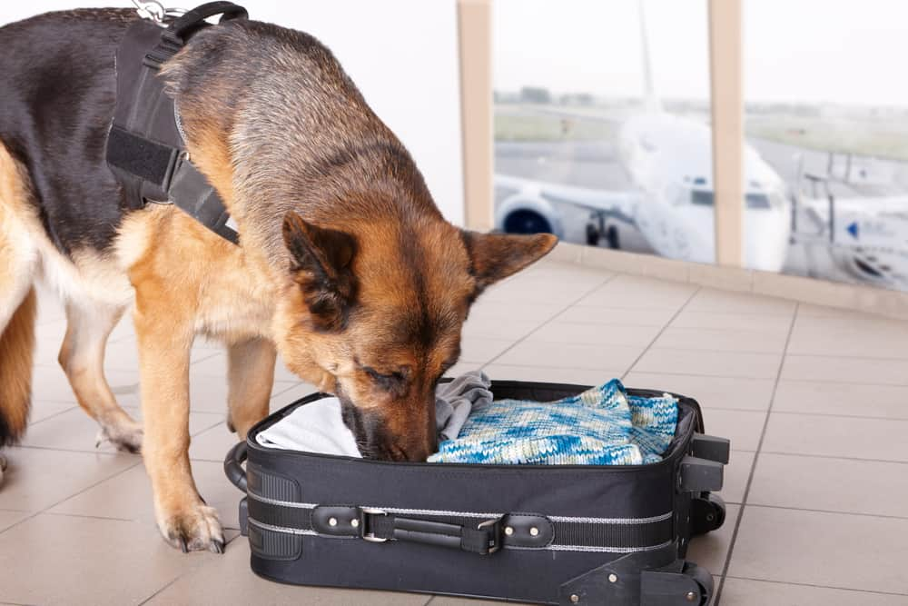 Is it Possible to Trick a Drug-Sniffing Dog?