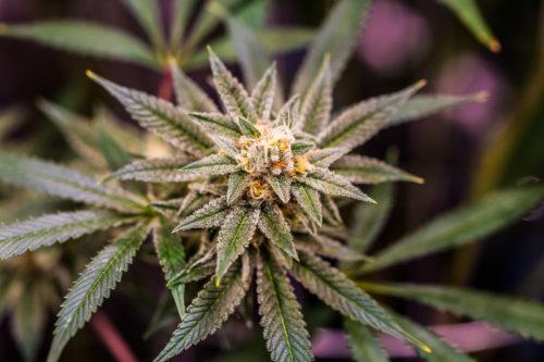 Marijuana pistils and trichomes