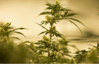 Washington State Cannabis Company Starts Pot Waste Program