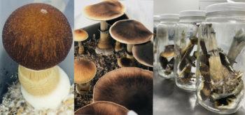 Mushrooms in the Lab at Numinus (photo cred. Numinus Bioscience)